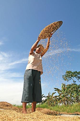 Philippines,Pinoy,Life,city,rural Barangay Ugalingan, Carmen, North Cotabato rice winnowing