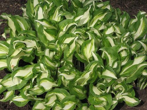 Really variegated hosta