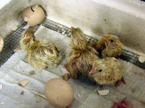 Chick project