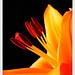 Lily Day 3 von fuchsphoto