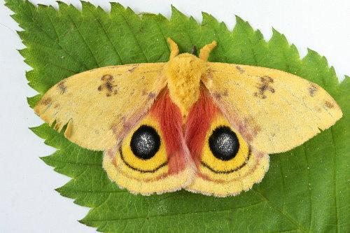 7746 - Automeris io - Io Moth