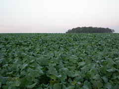Intensive agriculture - Sugar beet field