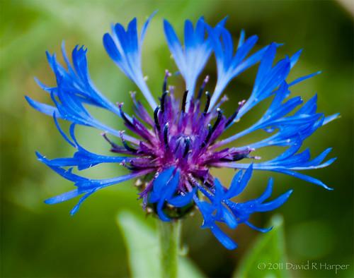 Day 163 :: 365 … Brilliant Blue by Echo9er