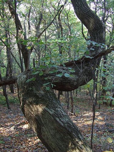 bent rock oak