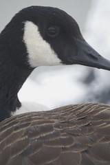 New Goose