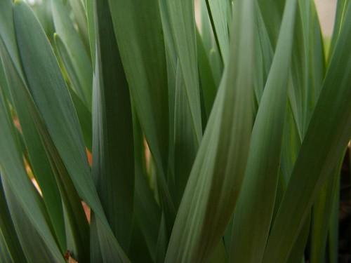 daffodilleses
