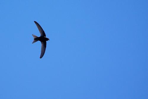Martinet noir by Max.Bth, on Flickr