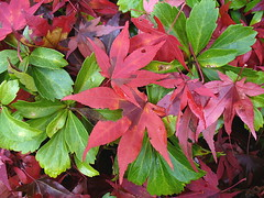 Japanese maple leaves on ground cover