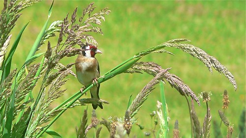 Goldfinch in the grass