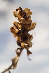Turtlehead Seedhead