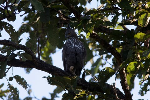 crested hawk eagle resting