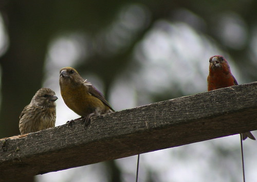 Crossbills (left to right) Juvenile, Female and Male