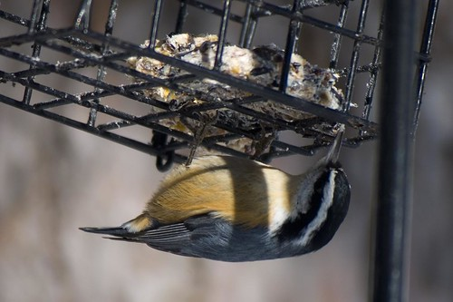 Red-breasted Nuthatch - suet