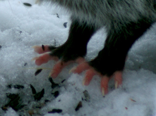 Possum hands