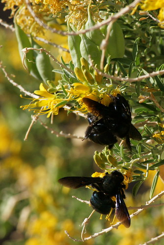 Gigantic Bees? Death Valley, Calif.