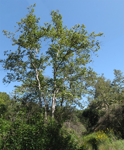 Santa Ynez Trail Tree Photomerge