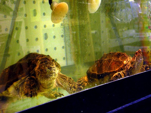 pet turtles in an aquarium