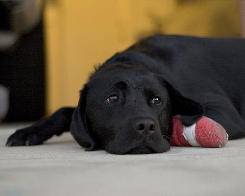 perro con pata lesionada