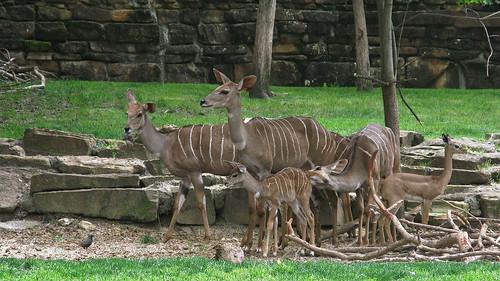 6237 Lesser Kudu, Fort Worth Zoo, Tx