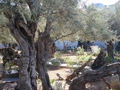 DSC04533-Garden Of Gethsemane