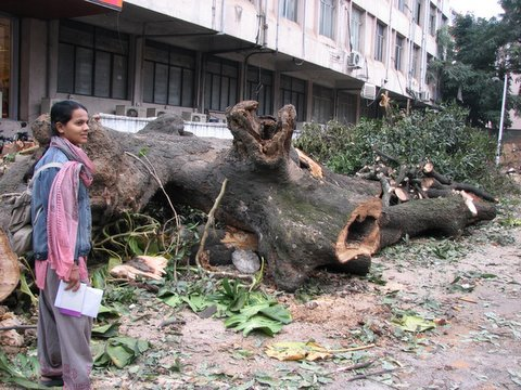 a magnificient old mango tree which is now an ex-mango tree,kasturba road, 151207