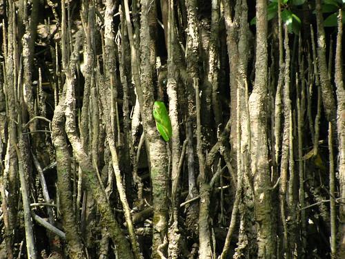 Una delle mie foto preferite: rana verde sulle mangrovie!