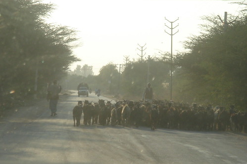 前往Jaisalmer路上1-105路上羊群