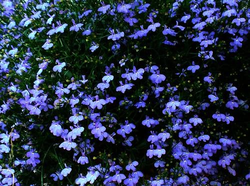 Lobelia Wildflower And Cultivar Tellurian Flora A Reference