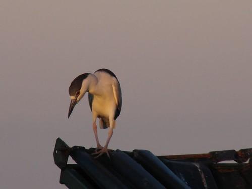 Juvinile Black Crowned Night Heron