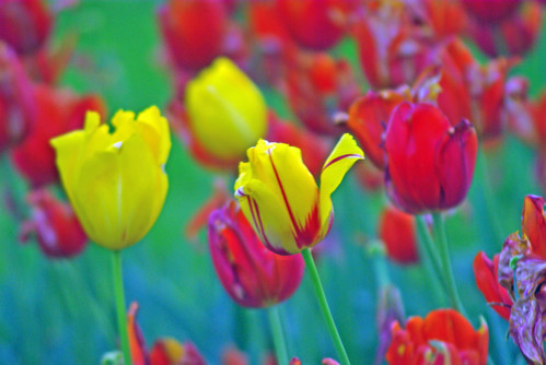 yellow tulips and red tulips from Istanbul Tulip Festival (pentax k10d)