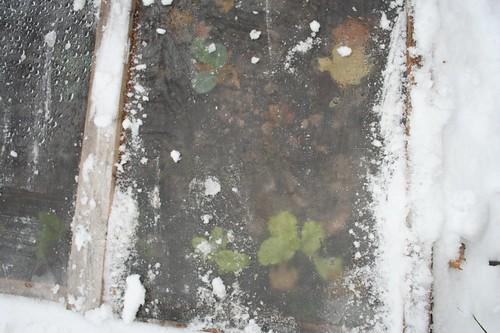 cold frame closeup