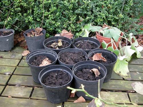 Grape seedlings