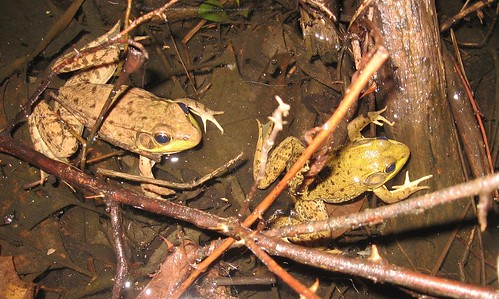 Frogs - March 31 2008