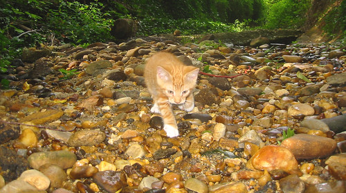 20080914 - cats visit our creek - 168-6808 - Lemonjello - walking on rocks - please click through to leave a comment on FlickR