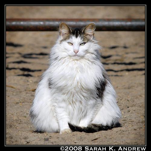 Beware of the Fluffy Barn Cat!
