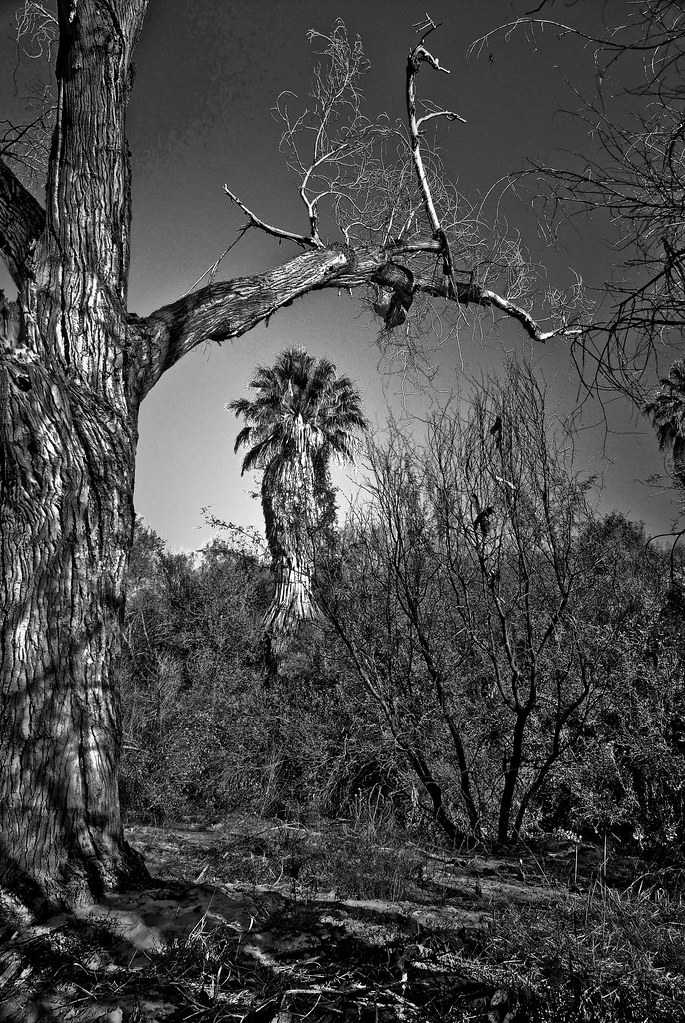 desert palm...-120061106