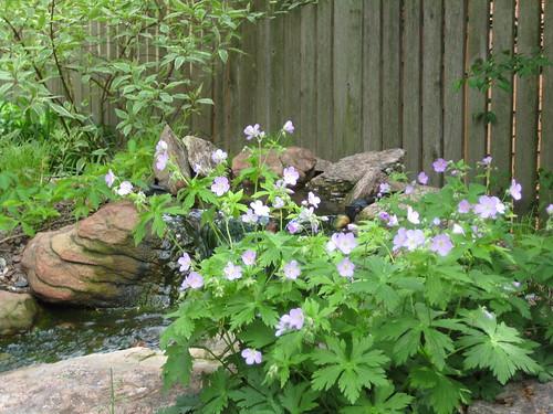 Wild geranium by biofalls (by RPOP)
