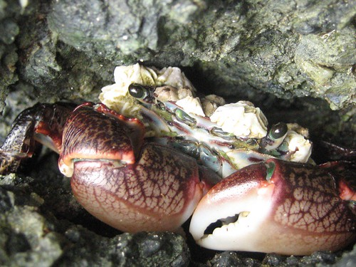 Barnacle colony on crab