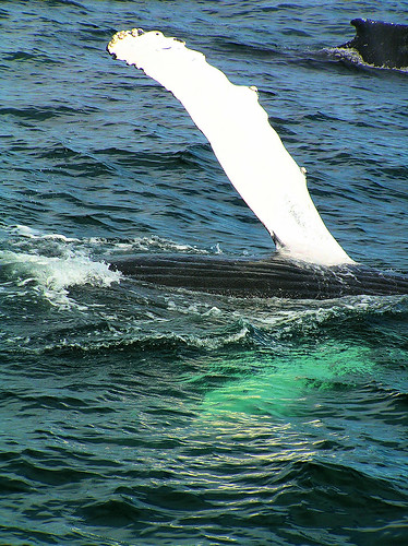 a humpback waves hello, 3 mi off Provincetown, CC, somewhere in the Stellwagen Banks