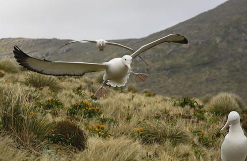 aterrizaje de albatros