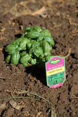 Sweet basil in the backyard