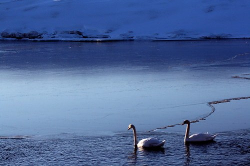 Mute Swans by SummitCJB