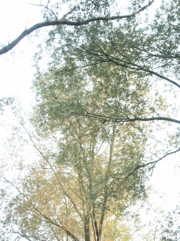Ethereal treetops