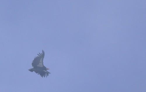 Condor in the mist