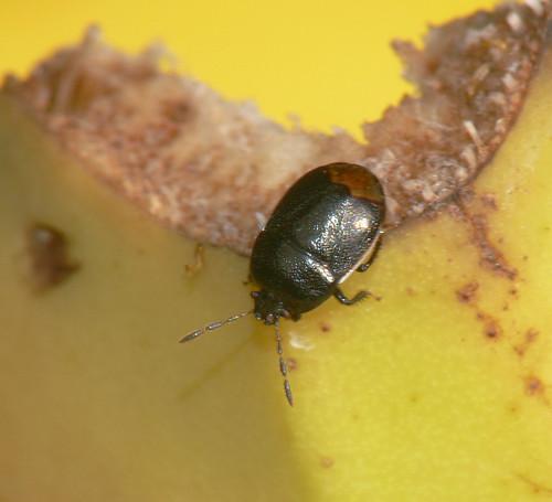Shieldbug (Legnotus limbosus)