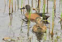 Blue-winged teal pair Sand Lake National Wildl...