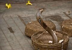 Snake in a basket