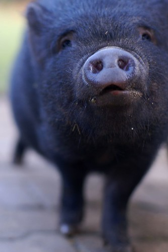 Not even this pig wants to be associated with Chris Brown