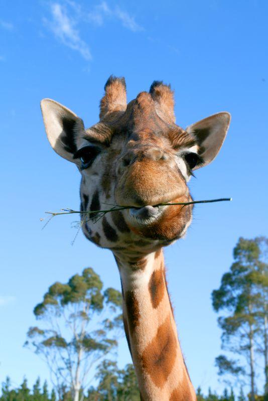 Feed the giraffe!
