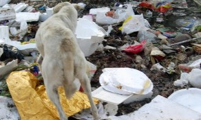 dog searching in litter, Rajasthan